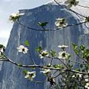 Yosemite Dogwood And Half Dome Poster