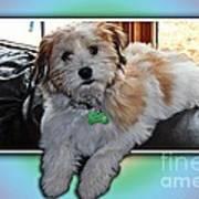 Yoshi Havanese Puppy Poster