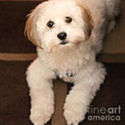 Yoshi Is One Today - Havanese Puppy Poster