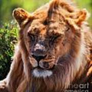 Young Adult Male Lion Portrait. Safari In Serengeti Poster