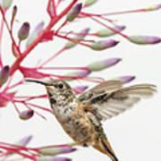 Young Allen's Hummingbird Poster
