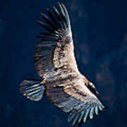 Young Andean Condor Poster
