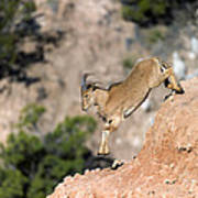 Young Auodad Sheep Descending The Canyon Poster