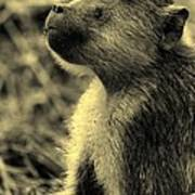 Young Baboon In Black And White Poster