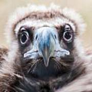 Young Baby Vulture Raptor Bird Poster