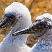 Young Blue Footed Booby Poster