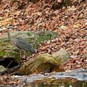 Young Blue Heron Poster