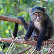 Young Blue Monkey Poster