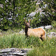 Young Bull Elk - Yellowstone National Park - Wyoming Poster