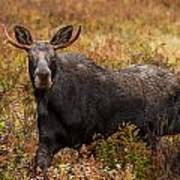 Young Bull Moose Being Aggressive Poster