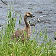 Young Canadian Goose Poster