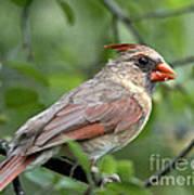 Young Cardinal Poster