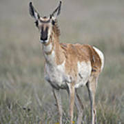 Young Doe Antelope Poster