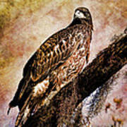 Young Eagle Pose II Poster