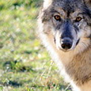 Young Gray Wolf In Light Poster
