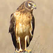 Young Harrier Poster