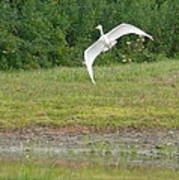 Young Heron In Flight Poster