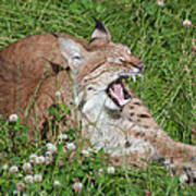 Young Lynx Yawning Poster