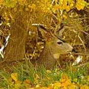 Young Male Buck Poster