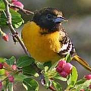 Young Male Oriole Poster