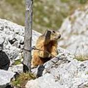 Young Marmot Poster