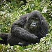 Young Mountain Gorilla Poster