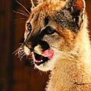 Young Mountain Lion Poster