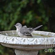 Young Northern Mockingbird In Bird Bath Poster
