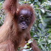 Young Orangutan Kiss Poster