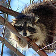 Young Raccoon In Birch Tree Poster