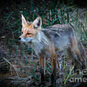 Young Red Fox Poster by Robert Bales