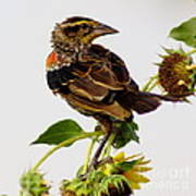 Young Redwing In The Wind Poster