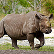 Young Rhinoceros Poster