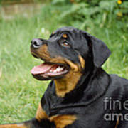 Young Rottweiler Poster