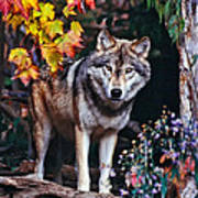 Young Timber Wolf Poster