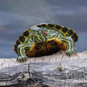 Young Turtle Poster