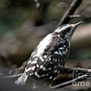 Young Woodpecker Poster