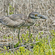 Young Yellow-crowned Night Heron Poster