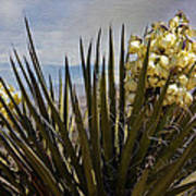 Yucca Blooms Poster