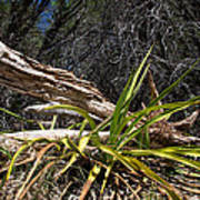 Pedernales Park Texas Yucca By The Dead Tree Poster