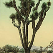 Yucca Cactus At Hesperia California Poster