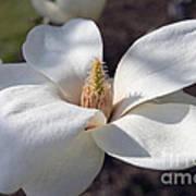Yulan Magnolia  4591 Poster