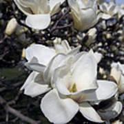 Yulan Magnolia  4753 Poster