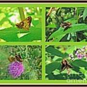 Zabulon Skipper Butterfly - Poanes Zabulon Poster