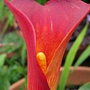 Zantedeschia Named Red Sox Poster by J McCombie