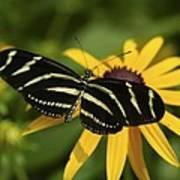 Zebra Butterfly Poster