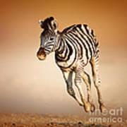 Zebra Calf Running Poster