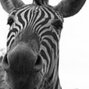 Zebra Close-up Poster