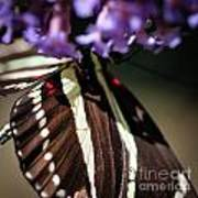 Zebra Heliconian Heliconius Charithonia Poster
