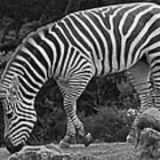 Zebra In Black And White Poster